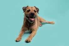 Border Terrier Laying Down Panting Blue Background
