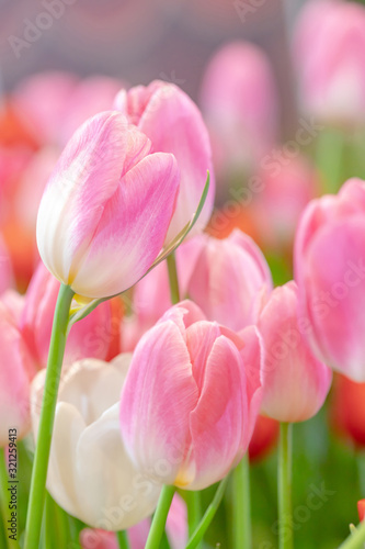 Fototapeta Close-up pink tulips and green leaves in the garden with freshness obraz