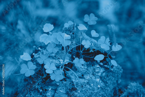 Fototapety, obrazy: Beautiful and peaceful close by view of the forest grass and moss in the trendy classic blue color of the year.