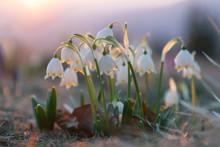 Spring Snowdrops In The Wilder...