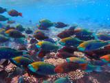Parrotfishes (Scaridae) - Kuramathi Maldives