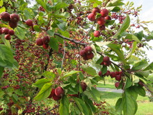 Red Apples On A Wild Apple Tre...