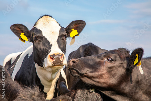 Photo A young cow wearing anti fly clip, in the middle of a group of cows looks dreami