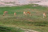 The Group springbok eatting grass in the sawanna garden
