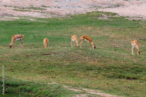 The Group springbok eatting grass in the sawanna garden