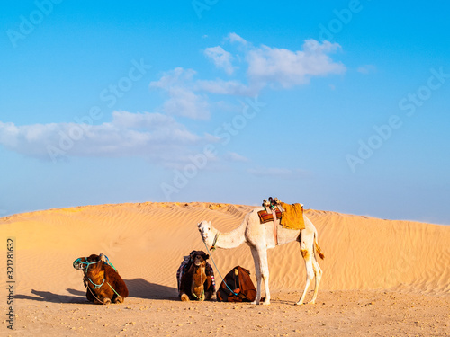 Dunes in the desert of Douz, Tunisia, camel driver man rests near his camels Slika na platnu