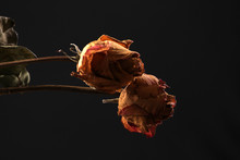 Dried Red Rose On Black Background.