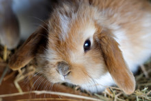 Cute Fluffy Ginger Baby Lop Ea...