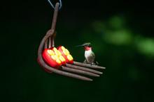 Male Hummingbird On Metal Perc...