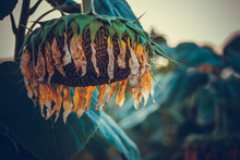 Ripe Drooping Sunflower Sunset Background