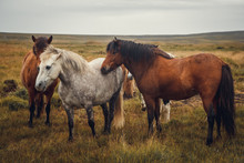Icelandic Horses In The Field Of Scenic Nature Landscape Of Iceland. Place For Text Or Advertising