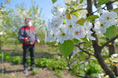 Canvas Print Agricultural senior worker in a blossom apple orchard spraying pesticide to prot