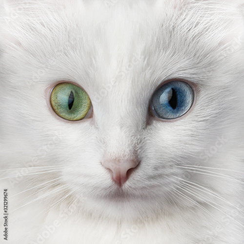 White cat with multi-colored eyes, unusual. Turkish angora with different colored eyes. - 321299674