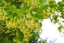 Linden Tree Lime Tree Linden Blossom In The Spring.