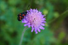 Scabiosa Columbaria, Pincushion Flower In The Summer.