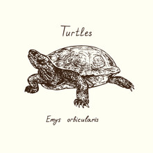 Tutles Collection, Emys Orbicularis (European Pond Turtle), Hand Drawn Doodle, Drawing Sketch In Gravure Style, Vector Illustration