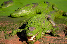 Crocodile / Alligator In Weste...