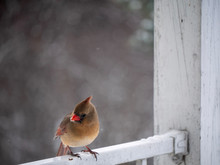 Cardinal Female Bird On Rustic Balcony Railing In Winter