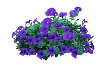 Flowers Bush Of Purple Petunia...
