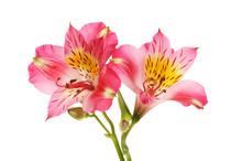 Two Alstroemeria Flowers