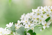 Blooming Apple Tree With White...