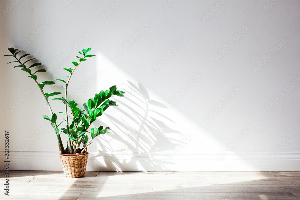 Shadow of green zamioculcas bush on the wall.