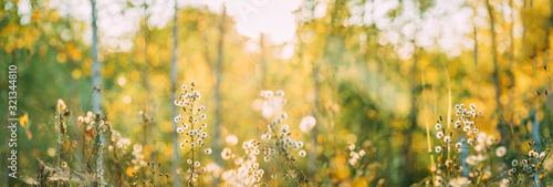 Dry Flowers Of Conyza Sumatrensis. Guernsey Fleabane, Fleabane, Tall Fleabane, Broad-leaved Fleabane, White Horseweed, And Sumatran Fleabane. Close Up Autumn Grass And Flowers In Sunset Sunrise - 321344810