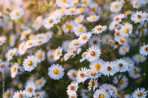 Photo Blooming Aster Perennial Flowering Plants In The Family Asteraceae