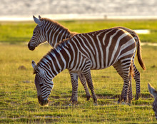 Two Zebras Grazing In The Late...