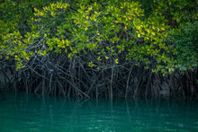 Mangrove Forest And Backwater,...