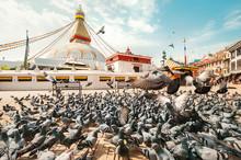 Large Pigeons Flock Walking An...