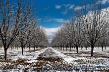 Snowy Pecan Orchard II