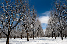 Snowy Pecan Orchard