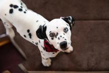 Cute Baby Dalmatian Puppy
