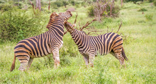 Two Burchell's Zebras Interacting Isolated In The Kruger National Park In South Africa Image In Horizontal Format