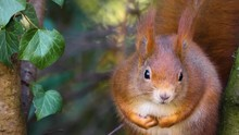 Close Up Of Red Squirrel Sitti...
