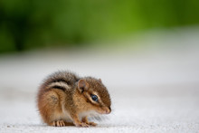 Small Chipmunk Isolated On A W...