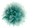 canvas print picture turquoise Dahlia flower on a white  background.  Isolated  with clipping path. Closeup. with no shadows.  Nature.