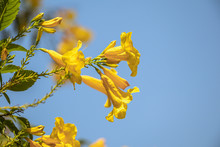 Blossoms Of Yellow Elder Flowe...