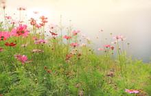 Beautiful Cosmos Flower Blooming In The Summer Garden Field Under Sunlight In Nature