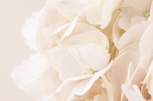 Peach Hydrangea Flowers For Background