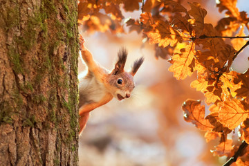 cute portrait with a beautiful fluffy red squirrel peeking out from behind the trunk of an oak with bright Golden foliage in a Sunny autumn Park