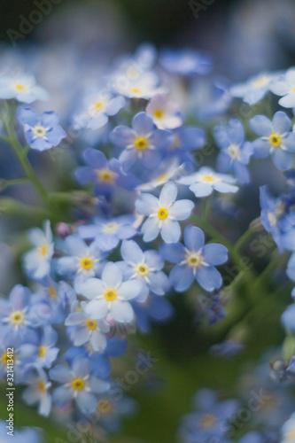 Fototapeta Close up of little blue flowers forget-me-not obraz