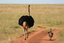 Ostrich Father And Son On A Walk