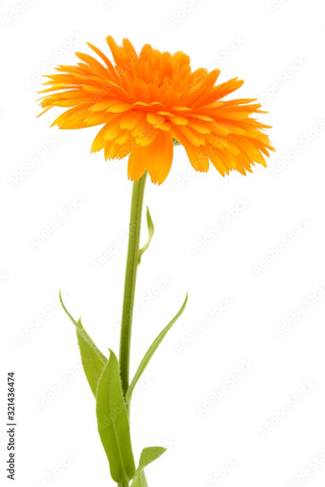 Fototapeta Calendula officinalis. Marigold flower with leaf isolated on white background.