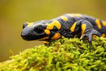 Close-up Of A Fire Salamander,...
