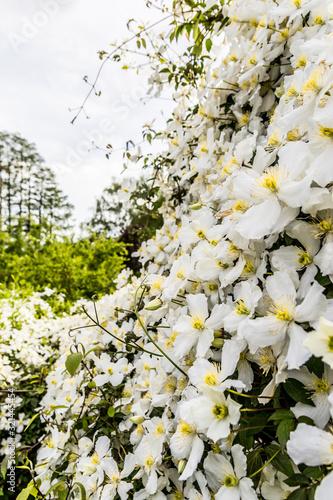 Photo Clématite blanche en fleur