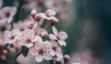 Closeup Of Spring Blossom Flow...