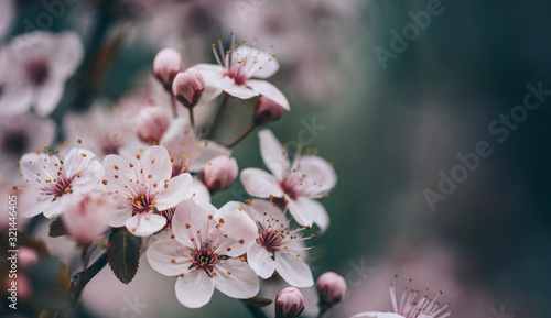 Obraz Closeup of spring blossom flower on dark bokeh background. - fototapety do salonu