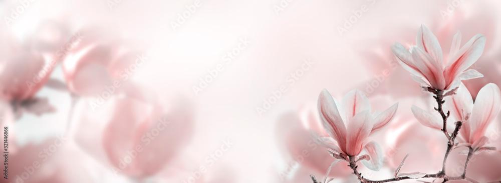 Fototapeta Closeup of blooming magnolia tree in spring on pastel bokeh background.